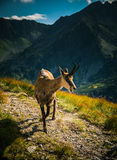 Beautiful chamois mountain goat in natural habitat Stock Photo