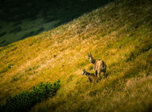 Beautiful chamois mountain goat in natural habitat Royalty Free Stock Photography