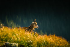 Beautiful chamois mountain goat in natural habitat Stock Images
