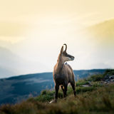Beautiful chamois mountain goat in natural habitat Royalty Free Stock Images