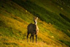 Beautiful chamois mountain goat in natural habitat Stock Photo