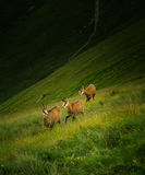 Beautiful chamois mountain goat in natural habitat Stock Images