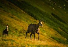 Beautiful chamois mountain goat in natural habitat Royalty Free Stock Photo