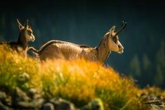 Beautiful chamois mountain goat in natural habitat Stock Photos