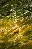 A beautiful chamois in a natural habitat Royalty Free Stock Photo