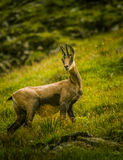 A beautiful chamois in a natural habitat Royalty Free Stock Image