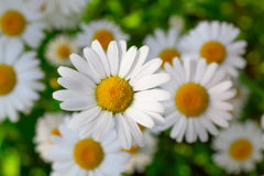 Beautiful chamomile Royalty Free Stock Image