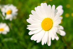 Beautiful chamomile Royalty Free Stock Photo