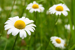 Beautiful chamomile closeup Royalty Free Stock Photos