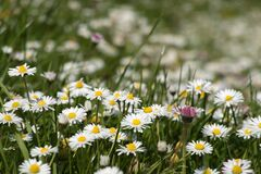 Free Beautiful Chamomile Field Flowers Background. Meadow Of Daisies Royalty Free Stock Photography - 181367317