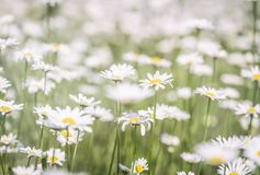 Free Beautiful Chamomile Field Flowers Background. Nature Scene With Blooming Chamomilles In Sun Flare. Summer Flowers. Beautiful Royalty Free Stock Photos - 165159728