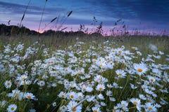 Beautiful chamomile field at sunset Stock Photos