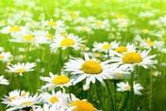 Beautiful chamomile flowers Royalty Free Stock Photos