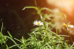 Beautiful chamomile flowers in field on sunny day. royalty free stock photography