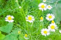 Beautiful chamomile flowers Royalty Free Stock Photos