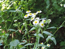 Beautiful forest daisy Stock Images