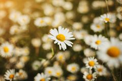 Beautiful chamomile grass grows on a summer field, summer or spring. Chamomile for tea for health. Useful grass. Chamomile field. stock photo