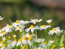 Chamomile Matricaria chamomilla flowers blooming on the meadow. Beautiful chamomile Matricaria chamomilla flowers blooming on the meadow on a sunny day stock photography