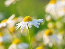 Chamomile Matricaria chamomilla flowers blooming on the meadow. Beautiful chamomile Matricaria chamomilla flowers blooming on the meadow on a sunny day royalty free stock photography