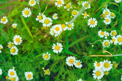 Beautiful chamomile. On the meadow Stock Photo