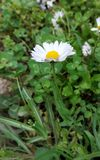 Beautiful chamomile smells good. Small flower in big grass. stock photography