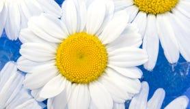 Beautiful Chamomiles Stock Images