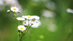Beautiful chamomiles bloom in the garden and sway in the wind. Nature of summer, wild flower meadow, botany and biology stock footage