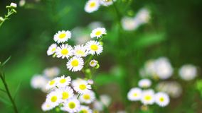 Beautiful chamomiles bloom in the garden and sway in the wind. Nature of summer, wild flower meadow, botany and biology stock video
