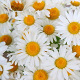 Beautiful chamomiles Royalty Free Stock Images