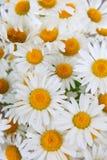 Beautiful chamomiles Stock Image