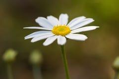 Beautiful chamomiles flowers Royalty Free Stock Image