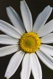 Beautiful chamomiles flowers Royalty Free Stock Photo