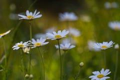 Beautiful chamomiles flowers Stock Image