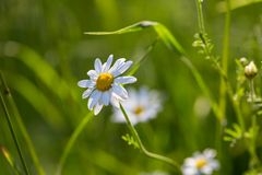 Beautiful chamomiles flowers Stock Photos