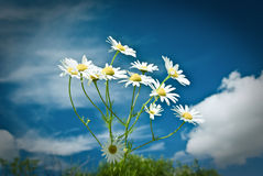 Beautiful chamomiles on a sky background Stock Images