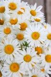 Beautiful chamomiles Royalty Free Stock Photo