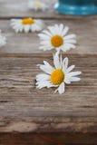 Beautiful chamomiles Royalty Free Stock Photography