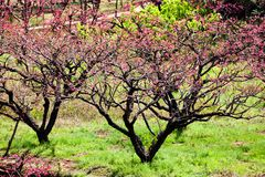 Pink peach blossom flowers blooming at farm. The beautiful charming attractive pink peach blossom is blooming in Spring at farm in China. the farmer plant lots stock photo