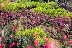 Pink peach blossom flowers blooming at farm. The beautiful charming attractive pink peach blossom is blooming in Spring at farm in China. the farmer plant lots royalty free stock image