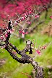 Pink peach blossom flowers blooming Stock Images