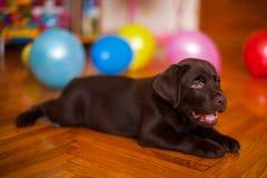 Cute puppy dog Retriever Labrador Royalty Free Stock Photos