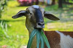 Beautiful and charming sheep actions with green grass in the mouth. Beautiful and charming sheep actions with grass in the mouth on green blurry nature stock photos
