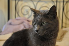 beautiful chartreux cat at home Stock Photography