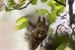 Beautiful and cheerful squirrel in the autumn forest on the trunk of a tree. stock image