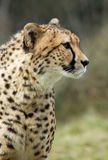 Beautiful cheetah Stock Photo
