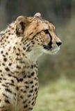 Beautiful cheetah stock photo