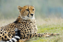 Beautiful cheetah Stock Photos