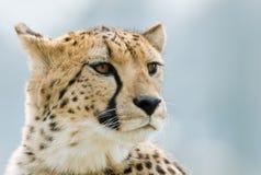 Beautiful cheetah Stock Photos