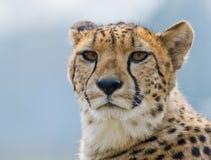 Beautiful cheetah Royalty Free Stock Photo