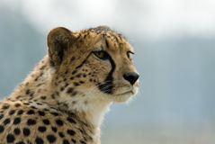 Beautiful cheetah Royalty Free Stock Photos
